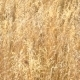 Golden Wheat Ready To Be Harvested - VideoHive Item for Sale