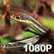 Garter Snake in the Grass - VideoHive Item for Sale