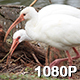 Two White Ibis Foraging - VideoHive Item for Sale