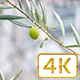 Ant Climbing an Olive Tree on 4K - VideoHive Item for Sale