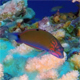 Underwater Colorful Clown Goby and Table Coral - VideoHive Item for Sale