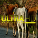 Herd of Cows 2 - VideoHive Item for Sale