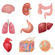 Human Internal Organs - GraphicRiver Item for Sale