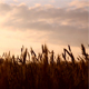 Wheat at Sunrise - VideoHive Item for Sale