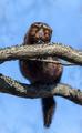 American minks - PhotoDune Item for Sale