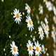 White Daisy - VideoHive Item for Sale