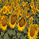Sunflower - VideoHive Item for Sale
