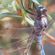 Dragonflies Mating 1 - VideoHive Item for Sale