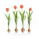 Four Tulips in Glasses