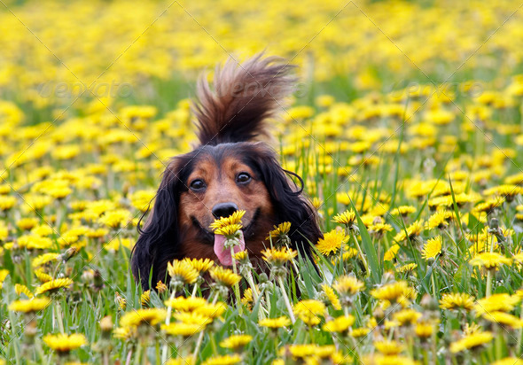 take a smell at dandelion - Stock Photo - Images