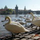 White Swans in Prague - VideoHive Item for Sale