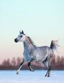 Horse gallops - PhotoDune Item for Sale