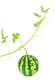 Watermelon. Fresh, juicy with green stem, leafs - PhotoDune Item for Sale