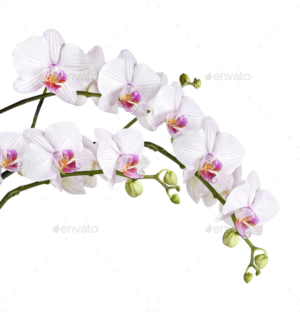 branch of white orchids - Stock Photo - Images