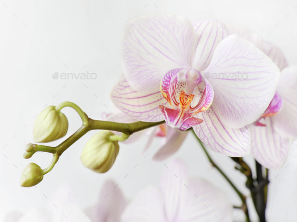 White and pink orchid flower - Stock Photo - Images