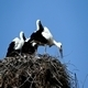 Storks in Nest 3 - VideoHive Item for Sale