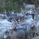 Herd of Goats - VideoHive Item for Sale
