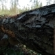 Felled Large Tree Trunk In The Forest - VideoHive Item for Sale