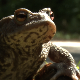 toad  - VideoHive Item for Sale