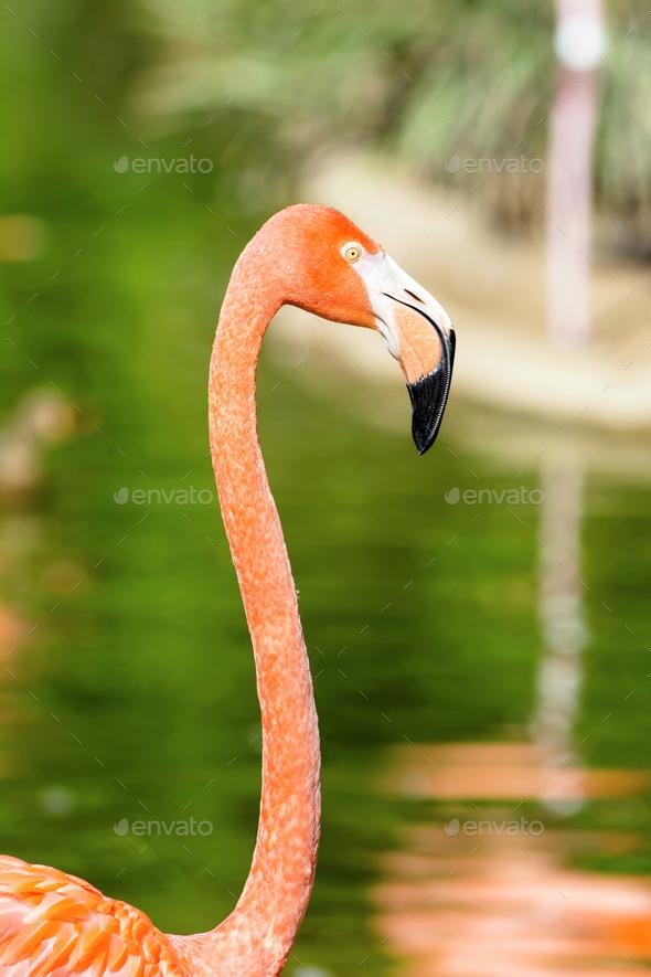 Close up of pink flamingo - Stock Photo - Images