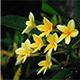 Kamboja Flower - VideoHive Item for Sale