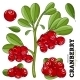 Cranberry With Leaves On White Background - GraphicRiver Item for Sale