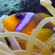 Beautiful Underwater Clownfish and Sea Anemones - VideoHive Item for Sale