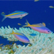 Underwater Colorful Fusilier Fish and Table Coral - VideoHive Item for Sale