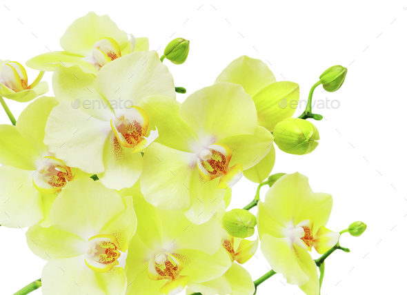 Yellow and green orchid flowers isolated on white - Stock Photo - Images