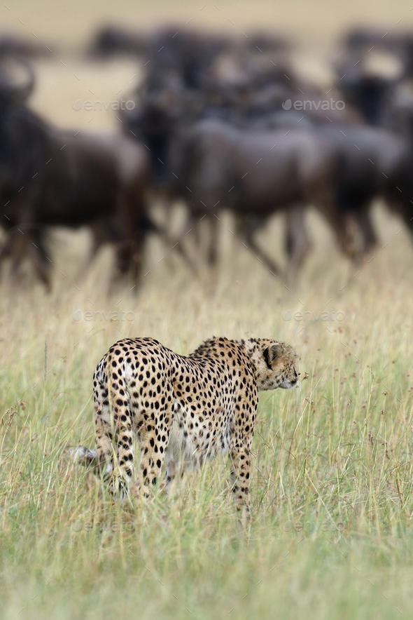 Cheetah - Stock Photo - Images