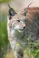 Lynx standing in the grass