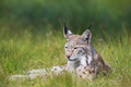 Lynx laying in the grass