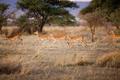 Gazelles running in Serengeti