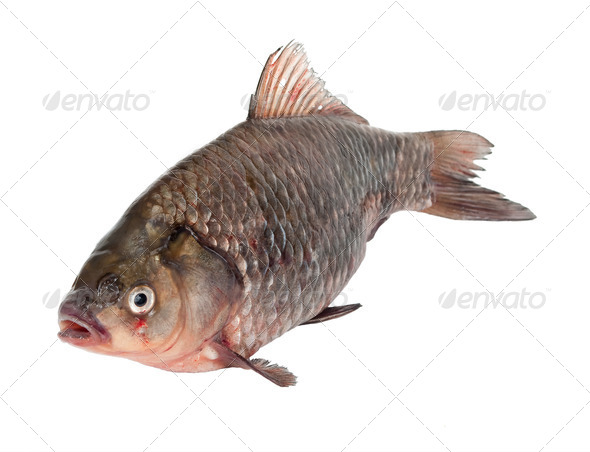 Carp - Stock Photo - Images
