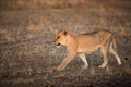 Lioness walking in Serengeti