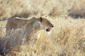 Injured lion in the Serengeti