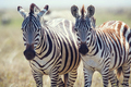 Two zebras in Serengeti Tanzania