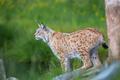 Proud lynx scout for prey