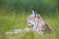 Lynx rests in the grass