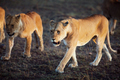 Lions walking in Serengeti