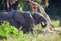 Large elephants eating in Serengeti