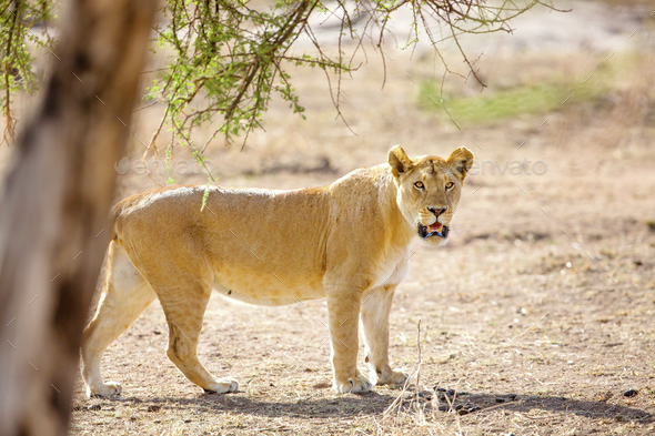 Large lion walks in Serengeti Africaa - Stock Photo - Images