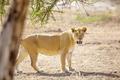 Large lion walks in Serengeti Africaa