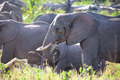 Group of large elephants eating in Serengeti