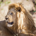 Big male lion rests in Africa