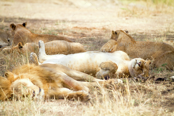 Cute lion sleeps on the back with paws in air - Stock Photo - Images