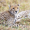 Cheetah rests at plains of Serengeti