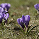 Spring Crocus Fowers in the Meadow - VideoHive Item for Sale
