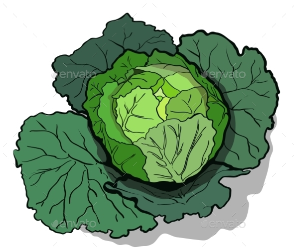 Cabbage  Illustration - Food Objects