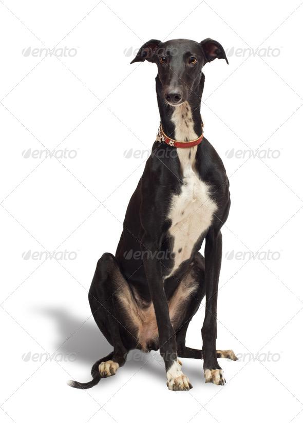 Greyhound - Stock Photo - Images